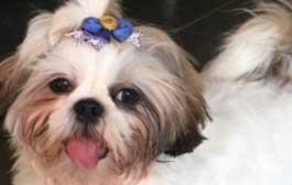 Dona oferece recompensa para achar cadela roubada em Cuiabá