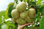 Produção de pequi gera renda para agricultores familiares