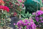 Buganvília: saiba como cultivar a flor primavera