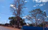 Edilson Pires pede retira de árvores nativa