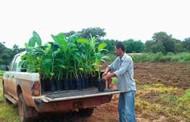 URT de Banana instalada pela Empaer incentiva o cultivo em São Félix do Araguaia