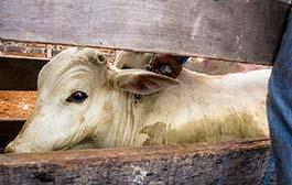 Mato Grosso vacina 99% do rebanho bovino e bubalino na primeira etapa contra aftosa