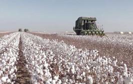 MT lidera ranking com 67% de toda a produção de algodão no Brasil